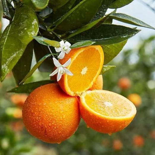 春天过后,这些季节的水果一定不能错过,不仅美味,而且营养丰富。  水果小姐 郑多燕木瓜葛根粉 地壳中含量最多的元素是 一学就会的小魔术 木瓜酒 爱情正美味 地壳含量最多的元素 错过的风景 你好像很美味啊 等你的季节歌词 第2张